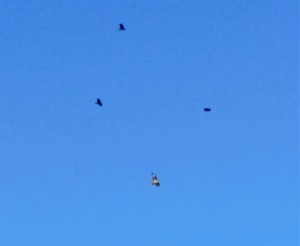 Crows attacking a hawk over our farm.