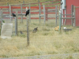 Crow sentries on duty while the chickens free range.