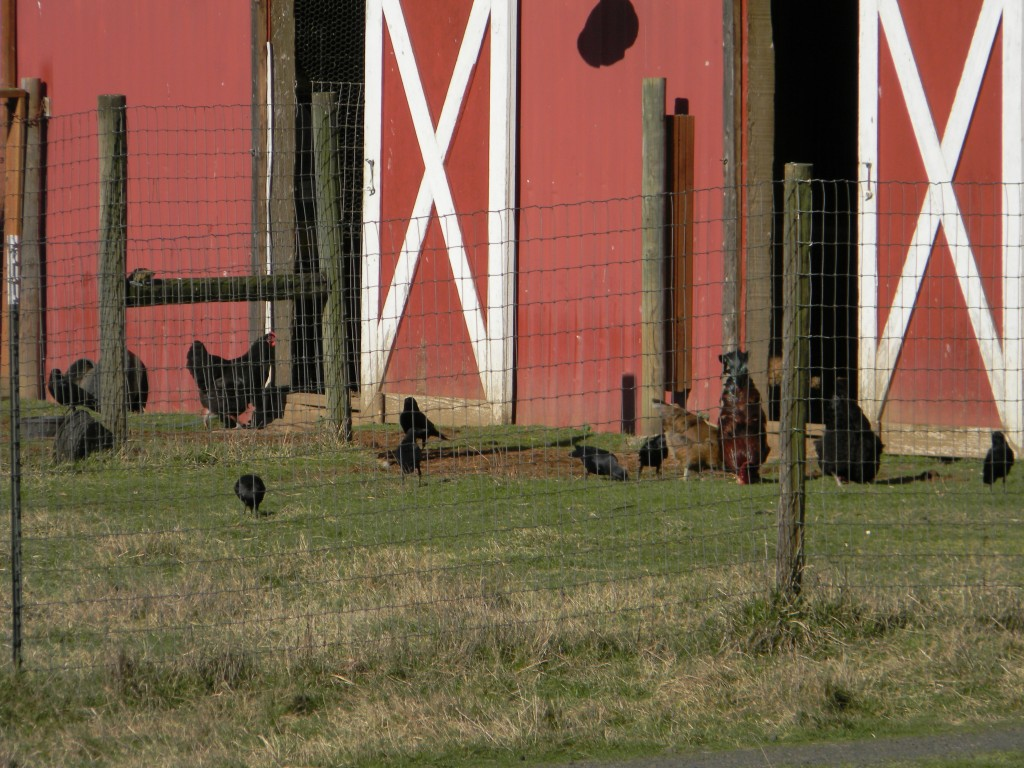 The chickens and crows socializing.